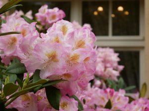 Foto_Rhododendron vor Museumsfenster